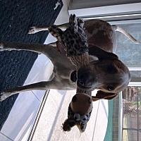 Adopt A Pet :: COOPER 2- Good yard dog - DeLand, FL
