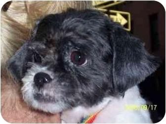 Shih Tzu Dog for adoption in Long Beach, New York - Mindy