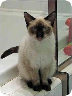 Siamese Cat for adoption in Davis, California - Collette