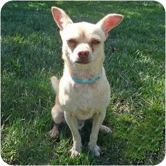 Chihuahua Mix Puppy for adoption in San Clemente, California - FARNSWORTH