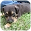 Photo 3 - American Bulldog/Rottweiler Mix Puppy for adoption in Mahwah, New Jersey - Jesse