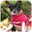 Photo 4 - Chihuahua Dog for adoption in Poway, California - Ace