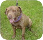 Labrador Retriever/American Staffordshire Terrier Mix Dog for adoption in Warren, Michigan - Bono