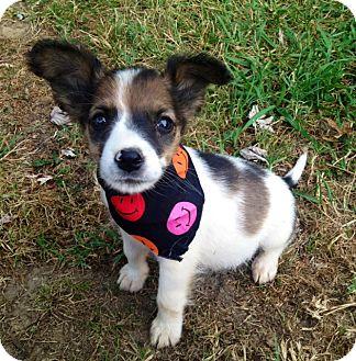 Terrier (Unknown Type, Medium) Mix Puppy for adoption in Glastonbury, Connecticut - Stevie
