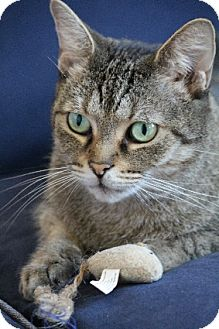 Domestic Shorthair Cat for adoption in Chicago, Illinois - Kitty Roo