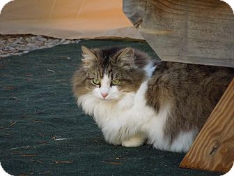 Norwegian Forest Cat Cat for adoption in Chattanooga, Tennessee - Olivia