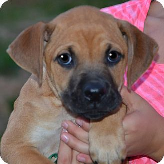 Boxer Mix Puppy for adoption in Londonderry, New Hampshire - Carrie