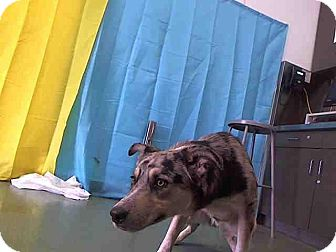 Australian Shepherd Mix Dog for adoption in Las Vegas, Nevada - Joe