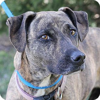 Retriever (Unknown Type)/Whippet Mix Dog for adoption in Springfield, Illinois - Lady