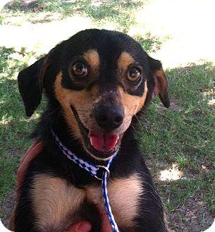 Chihuahua Mix Dog for adoption in Groton, Massachusetts - Luke