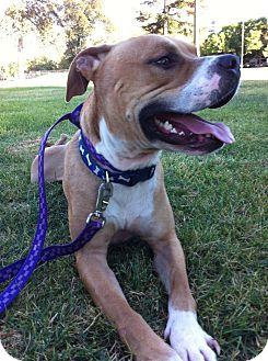 American Bulldog Mix Dog for adoption in Yuba City, California - Caesar