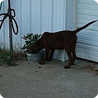 Adopt A Pet :: Bear - Conway, AR