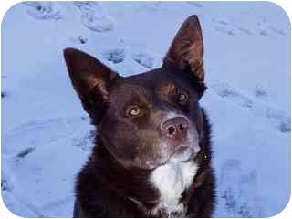 Australian Kelpie/Border Collie Mix Dog for adoption in Roundup, Montana - Nate