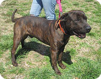 Labrador Retriever Mix Dog for adoption in Paducah, Kentucky - Happy
