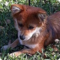 Adopt A Pet :: Dolly - Tumwater, WA