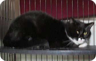 Domestic Shorthair Cat for adoption in Franklin, New Hampshire - Tucker