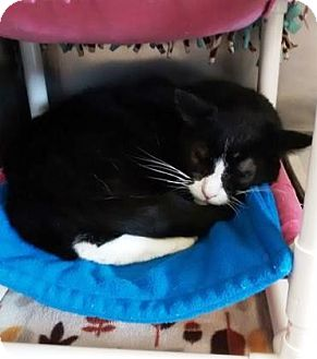 Domestic Shorthair Cat for adoption in Adrian, Michigan - Goofy