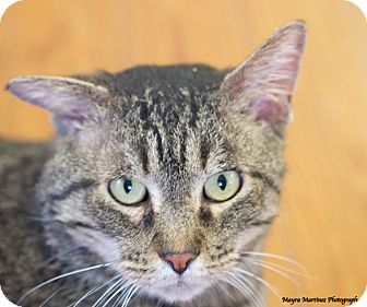 Domestic Shorthair Cat for adoption in Homewood, Alabama - Neville