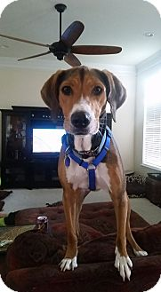 Hound (Unknown Type) Mix Dog for adoption in WESTMINSTER, Maryland - Mobey