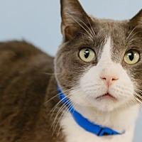 Domestic Mediumhair Cat for adoption in oakland park, Florida - Smoki