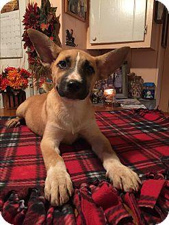 Australian Shepherd/Labrador Retriever Mix Puppy for adoption in Kittery, Maine - Lennox