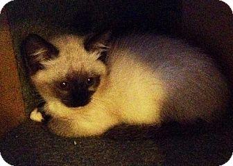 Ragdoll Kitten for adoption in Buford, Georgia - Amy - RAGDOLL kitten
