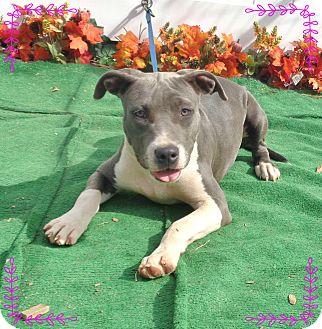 Pit Bull Terrier/American Pit Bull Terrier Mix Puppy for adoption in Marietta, Georgia - GIGI