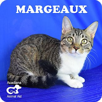 Domestic Shorthair Cat for adoption in Carencro, Louisiana - Margeaux