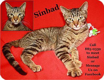 Domestic Shorthair Cat for adoption in Cuba, Missouri - Sinbad
