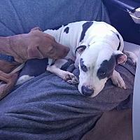 Adopt A Pet :: Gia - Covington, TN