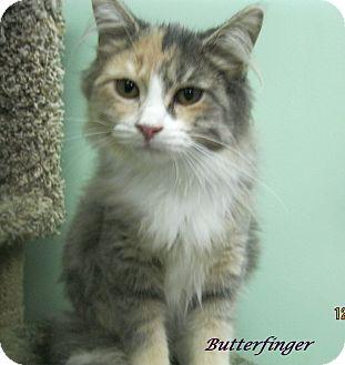 Domestic Longhair Kitten for adoption in Chisholm, Minnesota - Butterfinger