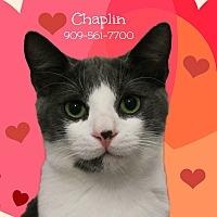 Adopt A Pet :: A Sweet Pair: CHAPLIN & Maggie - Monrovia, CA