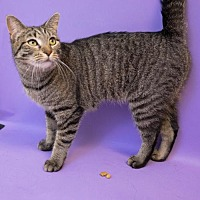 Domestic Shorthair Cat for adoption in Birdsboro, Pennsylvania - Angel