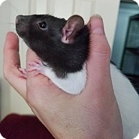Adopt A Pet :: Anne Bonney - Oklahoma City, OK