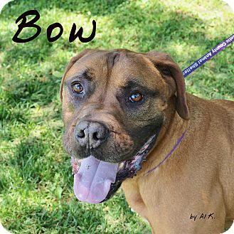 Rottweiler/Bullmastiff Mix Dog for adoption in Pleasantville, New Jersey - Bow
