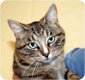 Domestic Shorthair Cat for adoption in Phoenix, Oregon - Sasha