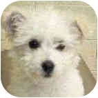 Bichon Frise Mix Puppy for adoption in La Costa, California - Hope