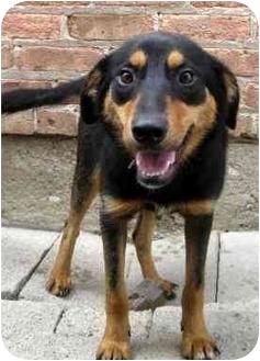 Australian Shepherd/Sheltie, Shetland Sheepdog Mix Dog for adoption in Chicago, Illinois - Millie(ADOPTED!)
