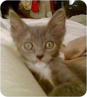 Russian Blue Kitten for adoption in Miami Beach, Florida - Gateway