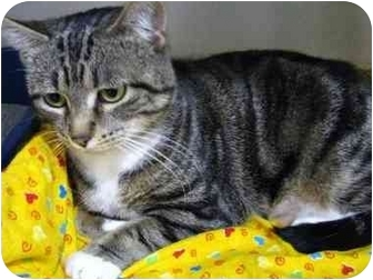 Domestic Shorthair Cat for adoption in Markham, Ontario - Sweety - 3 legs