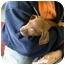 Photo 2 - Redbone Coonhound Puppy for adoption in Lexington, Missouri - LuLu
