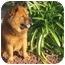 Photo 4 - Chow Chow/Shepherd (Unknown Type) Mix Dog for adoption in Auburn, California - COBO