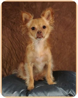 Chihuahua Dog for adoption in Las Vegas, Nevada - Chico