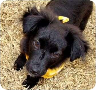 Pomeranian/Border Collie Mix Puppy for adoption in Muldrow, Oklahoma - Daisy