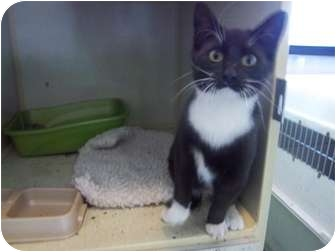 Domestic Shorthair Kitten for adoption in Sterling, Colorado - Mojita