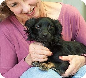 Chihuahua Mix Dog for adoption in Berkeley, California - Dino