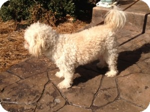 Poodle (Miniature) Mix Dog for adoption in Marlton, New Jersey - Chewy