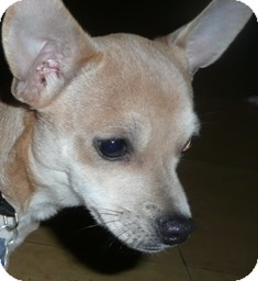 Chihuahua Mix Puppy for adoption in Wallingford Area, Connecticut - Dameon