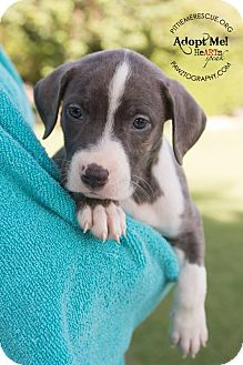 Pit Bull Terrier Mix Puppy for adoption in Gilbert, Arizona - Ariel