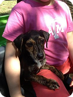 Dachshund Mix Dog for adoption in Vidor, Texas - Tabby
